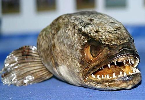 Fishzilla un poisson vorace qui sème la terreur en Australie